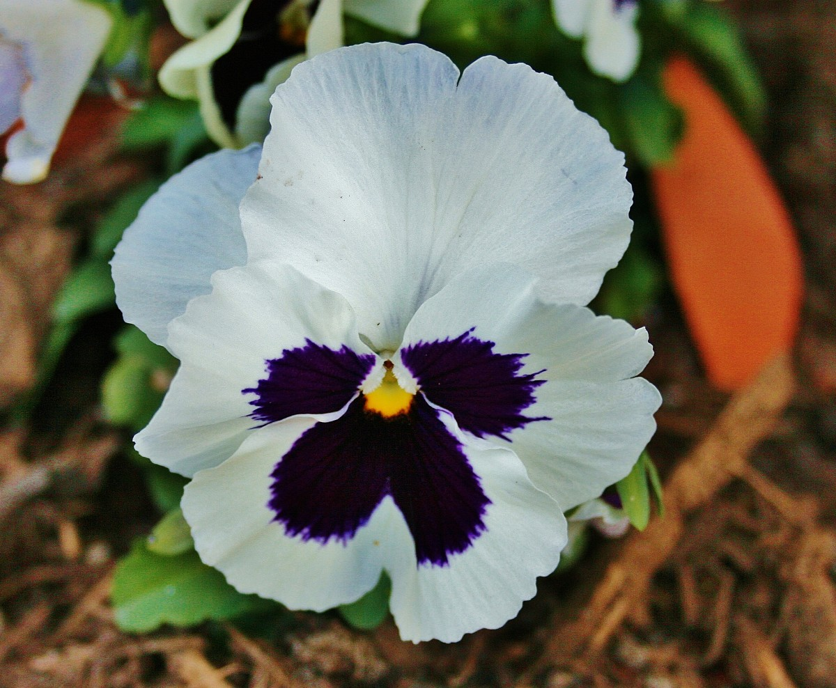 Year-Round Pansies