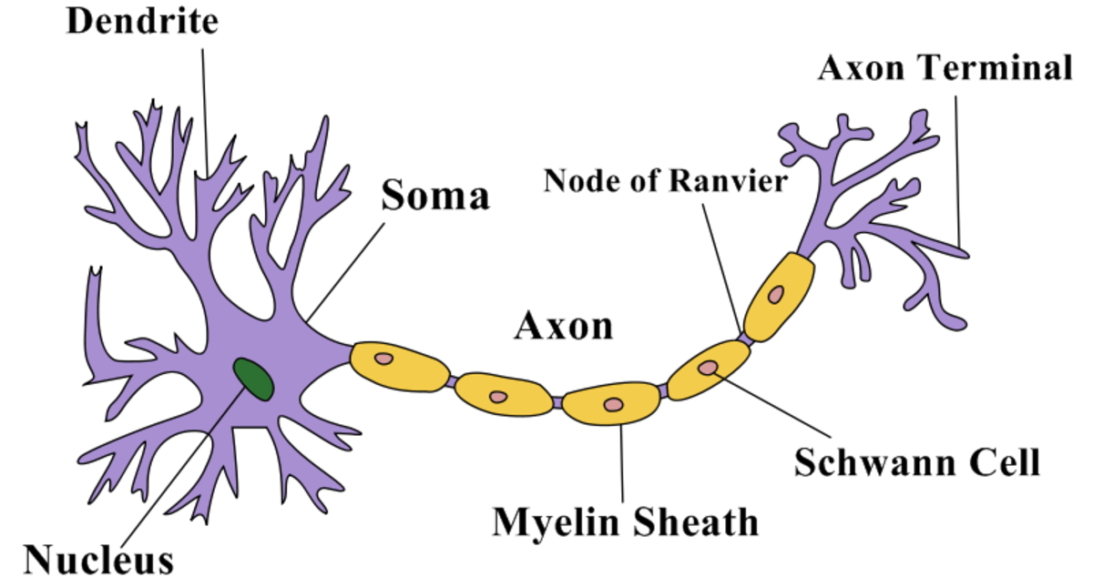 A simplified view of the structure of a neuron.