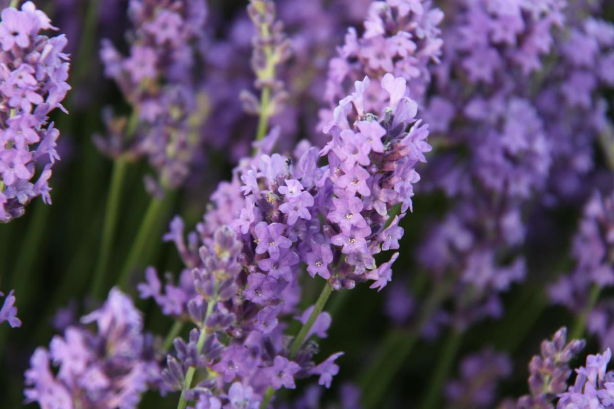 Lavender Insect Repellent Recipe