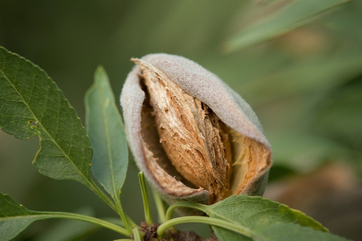 Almond in hull on tree