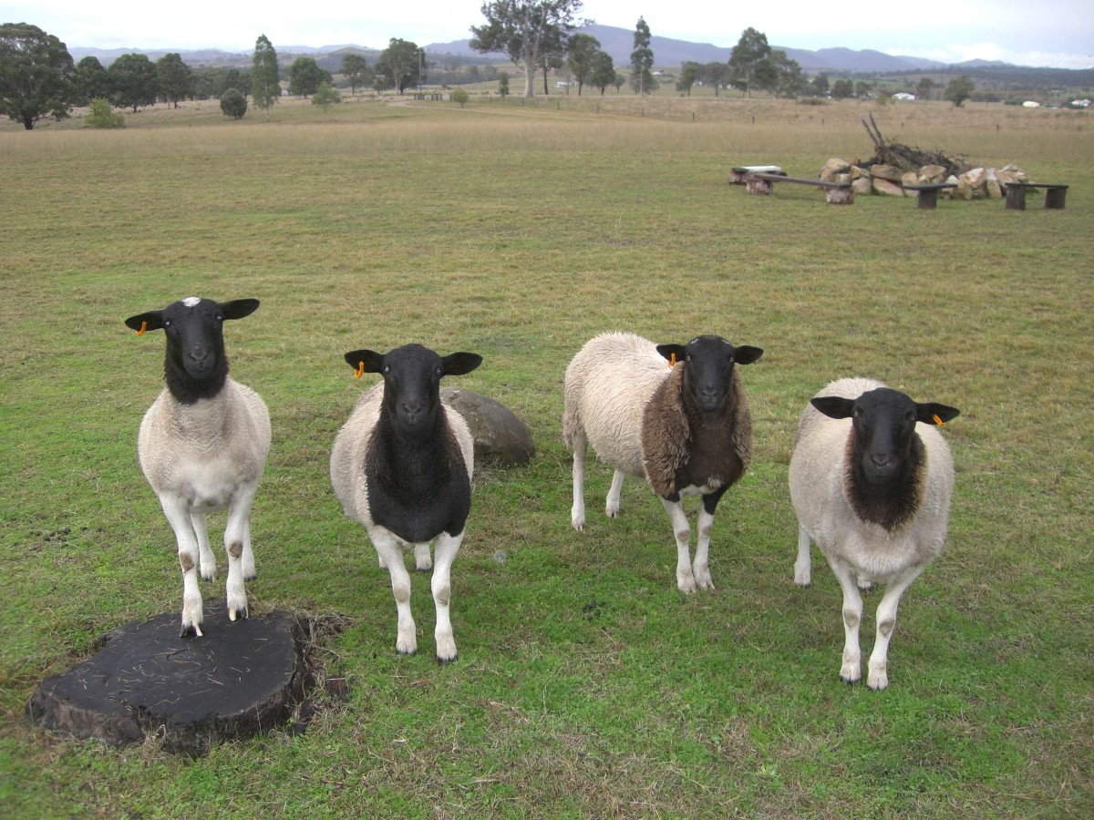 The Black Headed Dorper Sheep