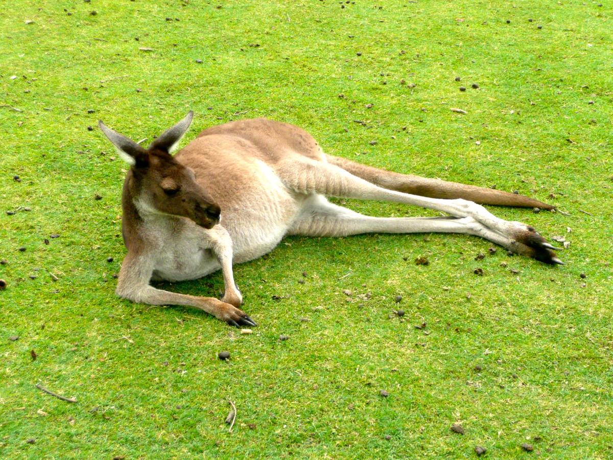 A Caversham Wildlife Park kangaroo