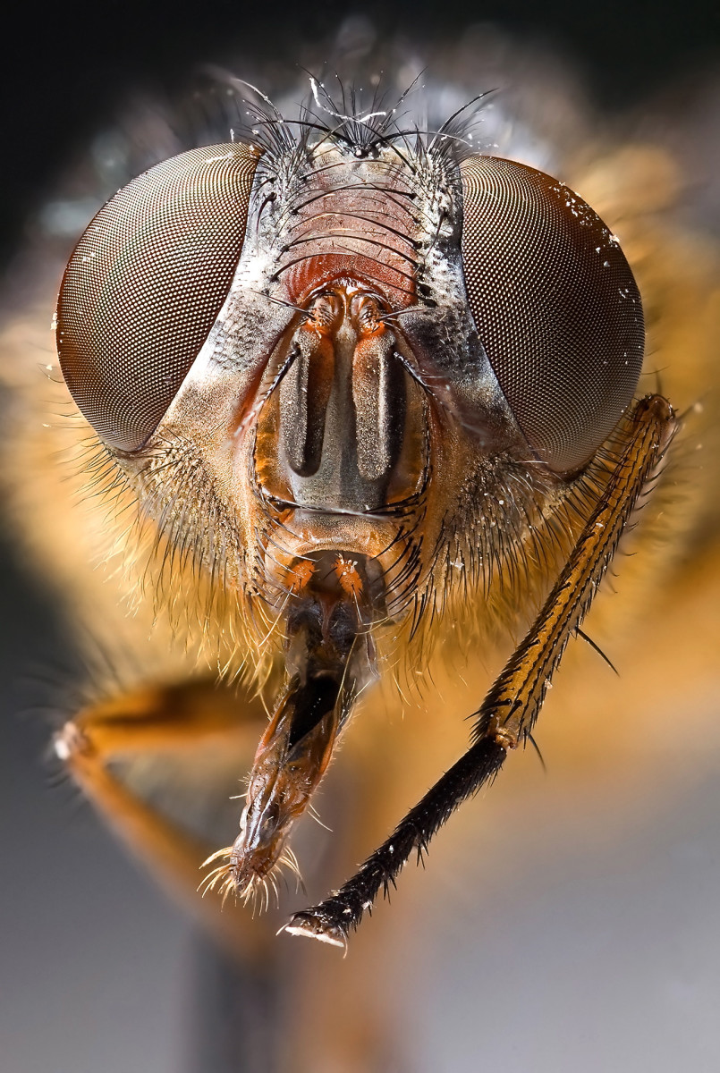 A fascinating close-up photo of a blow fly's face