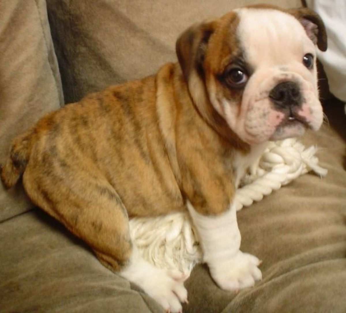 Great Names for English Bulldogs