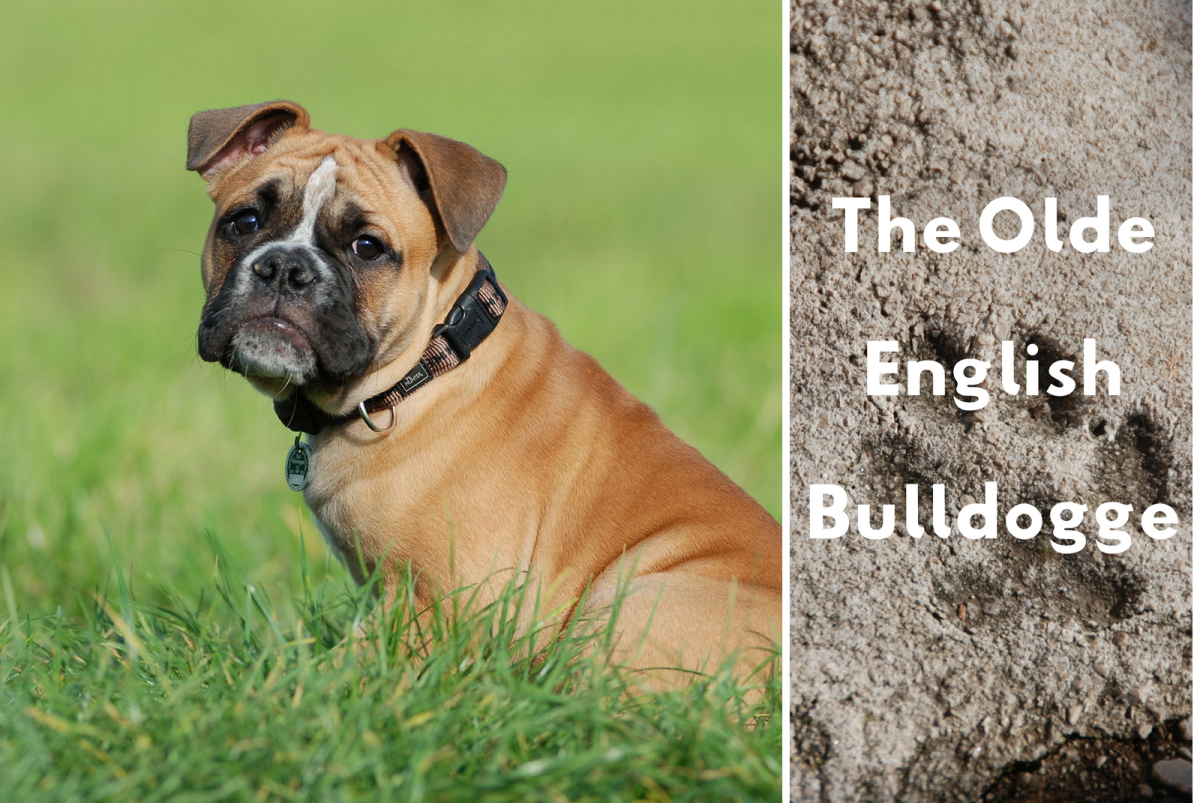 Olde English Bulldogge Information And Facts Is This Dog