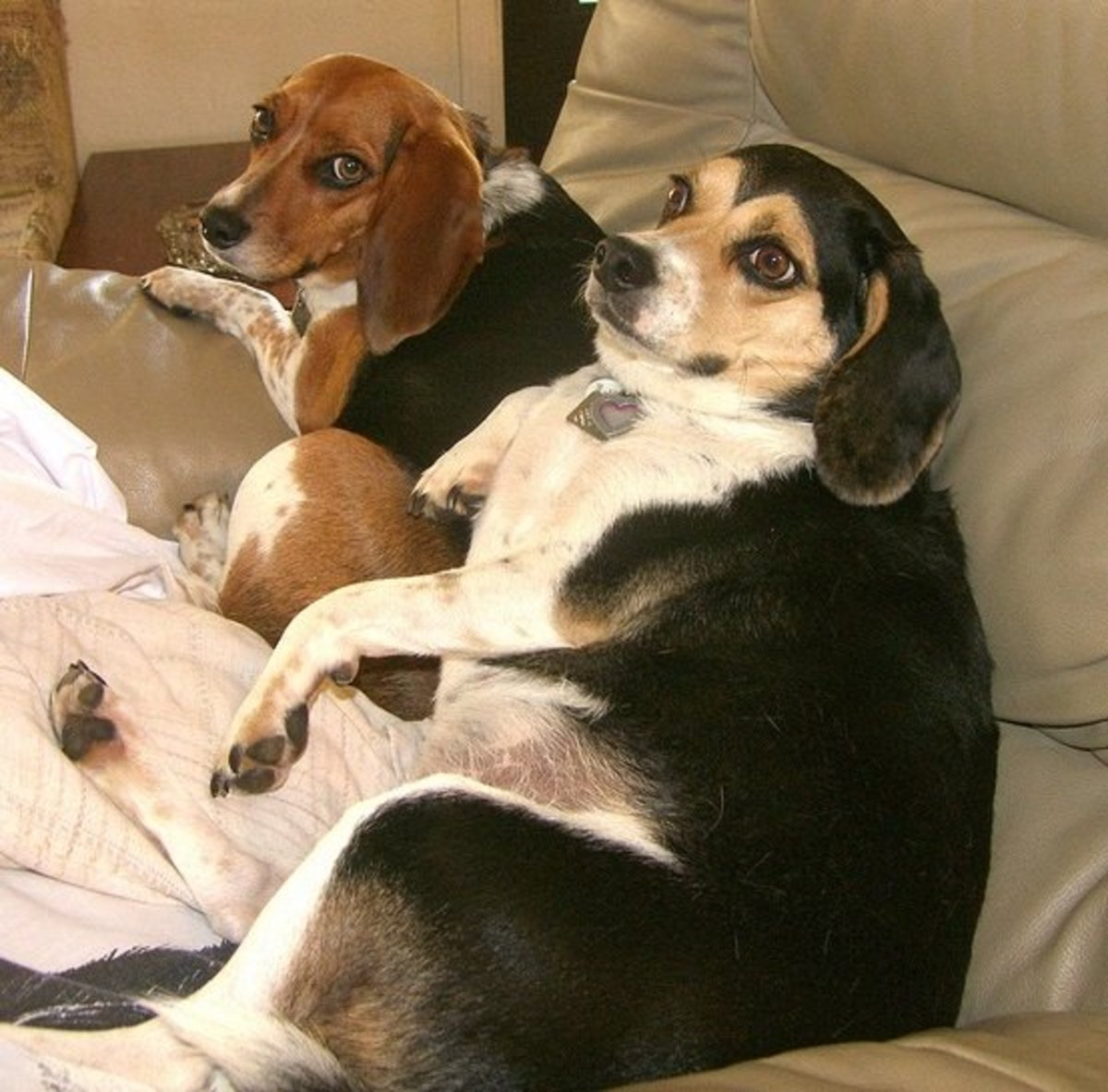 Obese Beagles resting on the couch