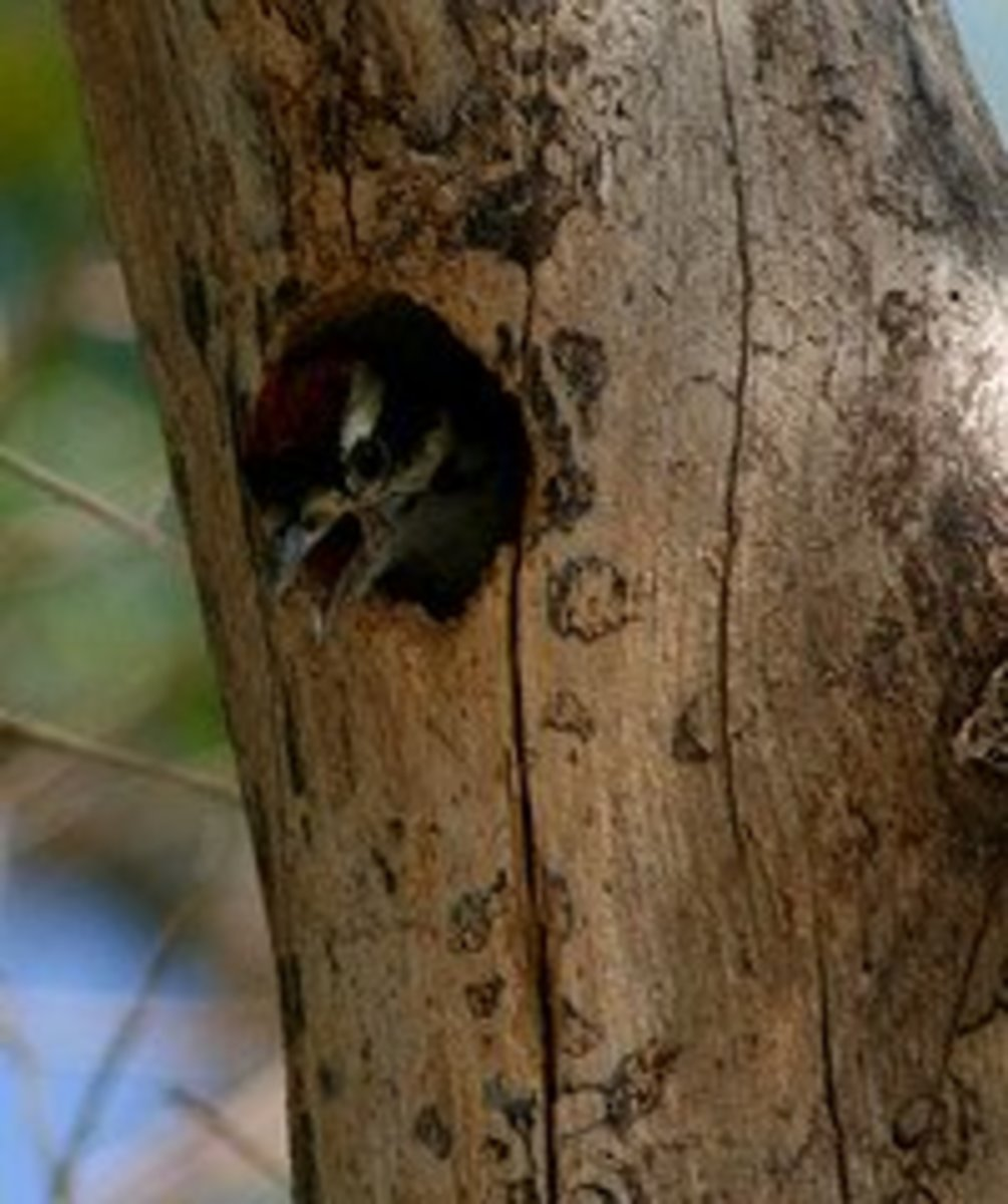 hungry male baby downy woodpecker