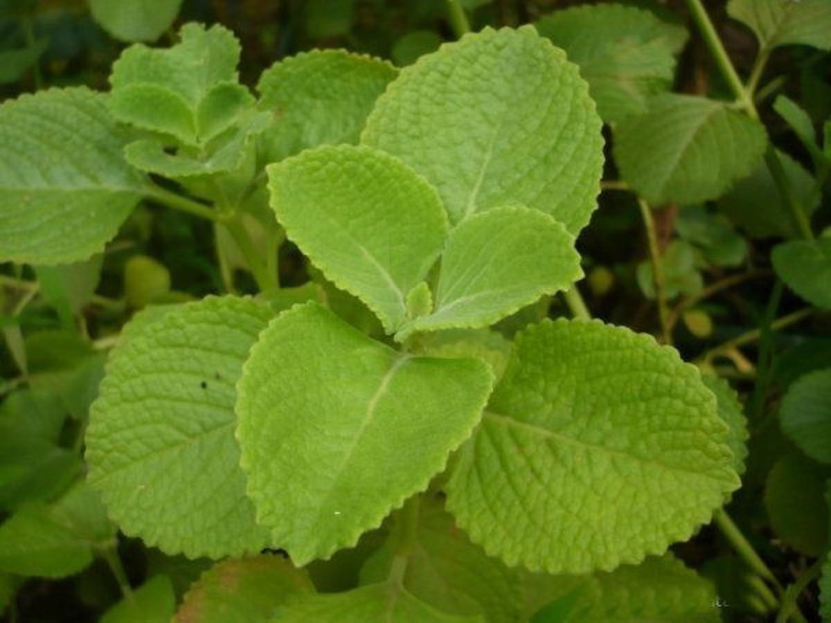Panikoorka: A Natural Remedy for Colds, Fevers, and Common Ailments