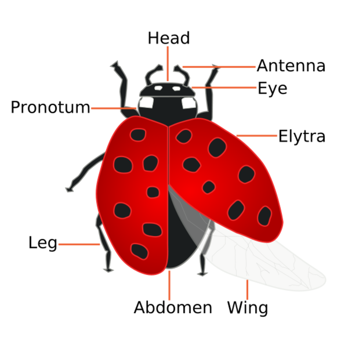 The Facts About How Ladybugs Help Humans