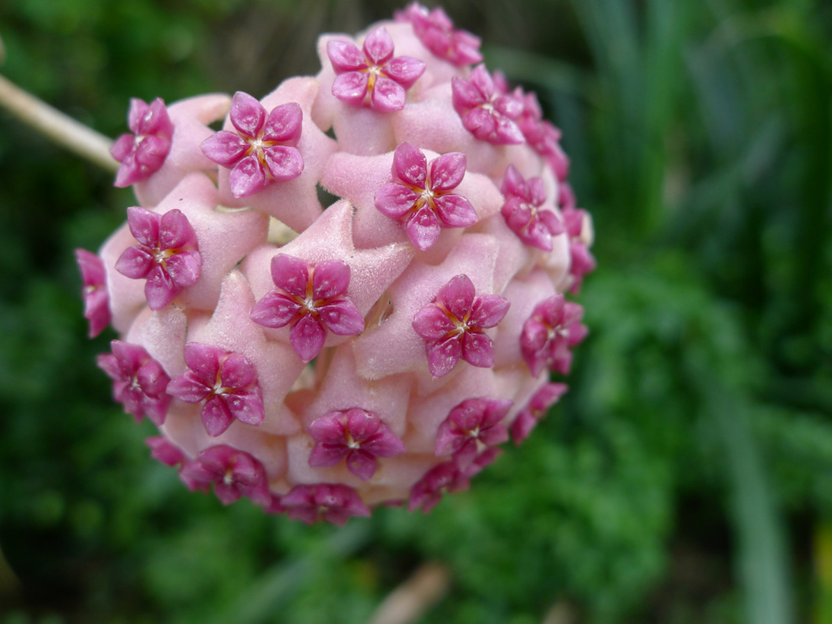 Hoya Plant: How to Care for and Propagate