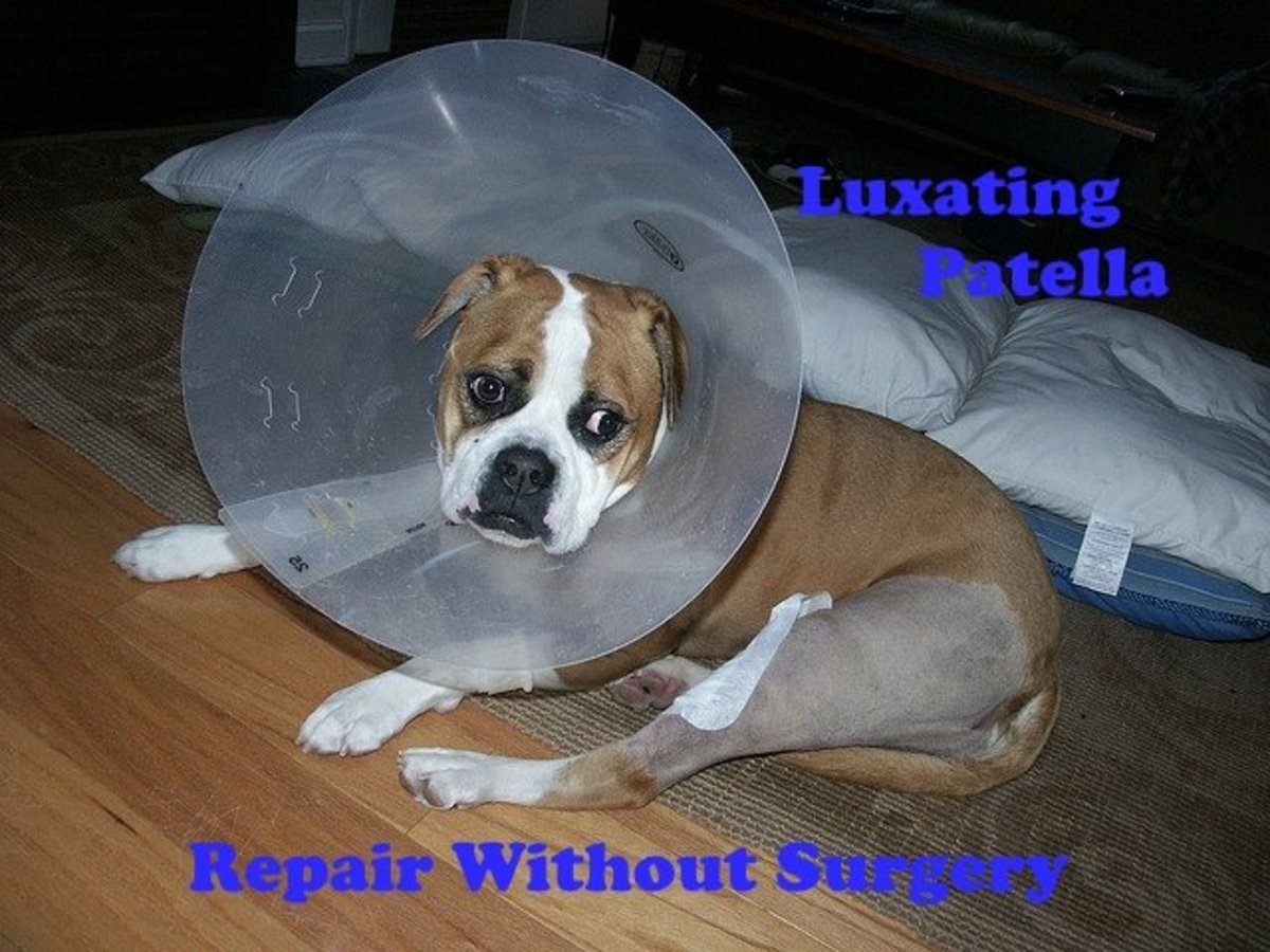 Luxating patella treatments without surgery.