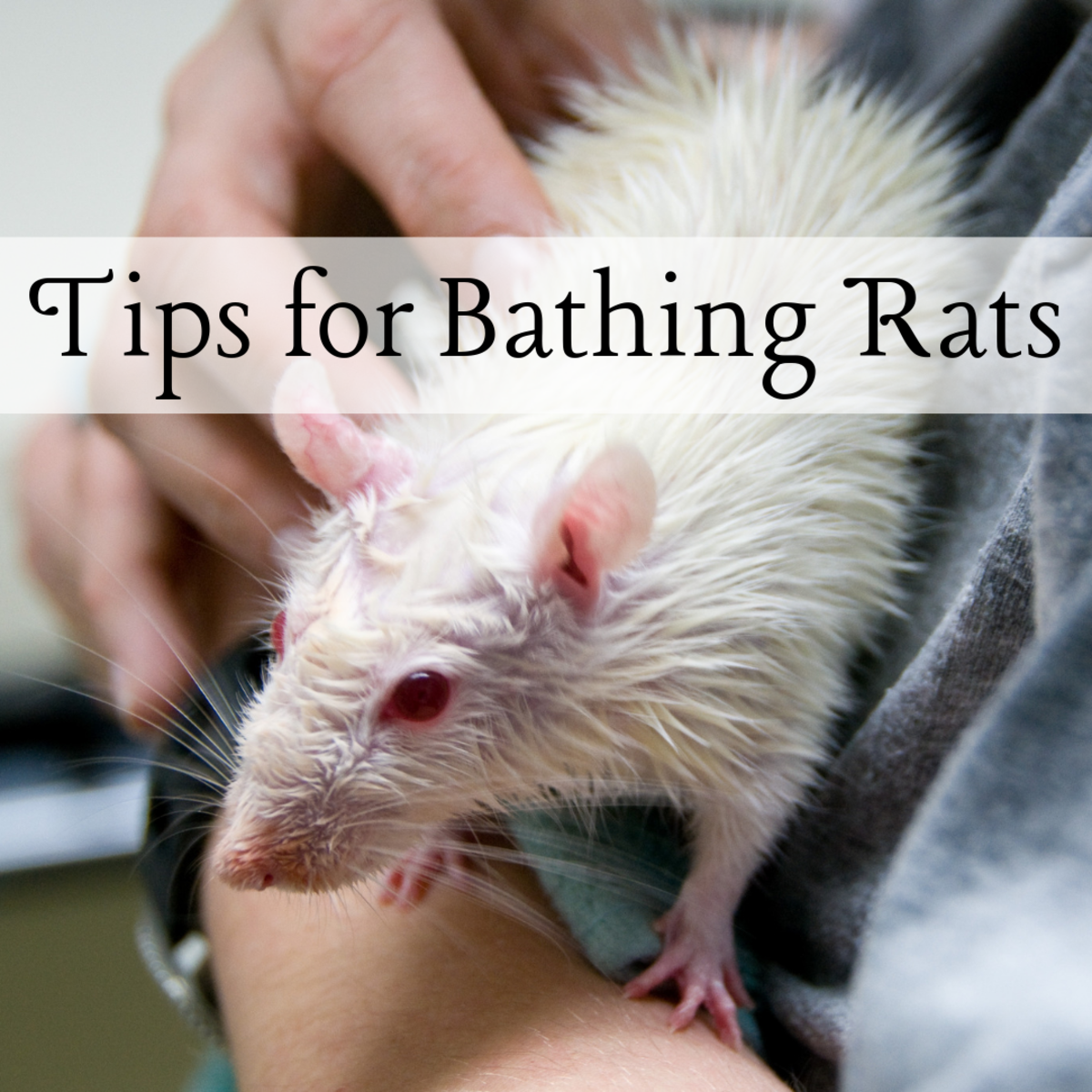 Ease the stress of bathtime for you and your rat with these tips and strategies!