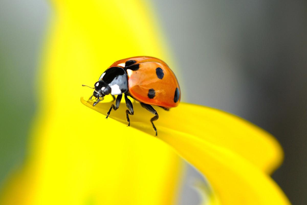 Ladybird on a Sunflower
