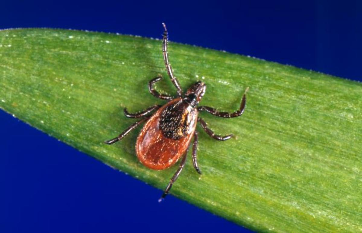 Black legged ticks carry lyme disease.
