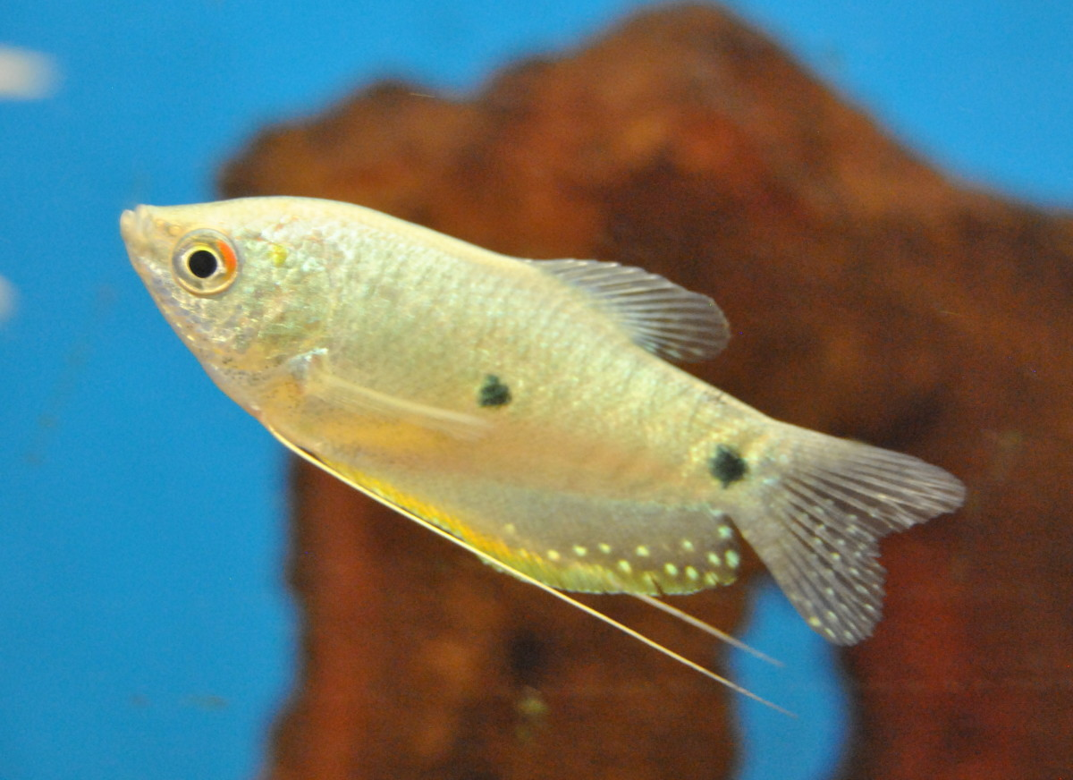 Three Spot Gourami