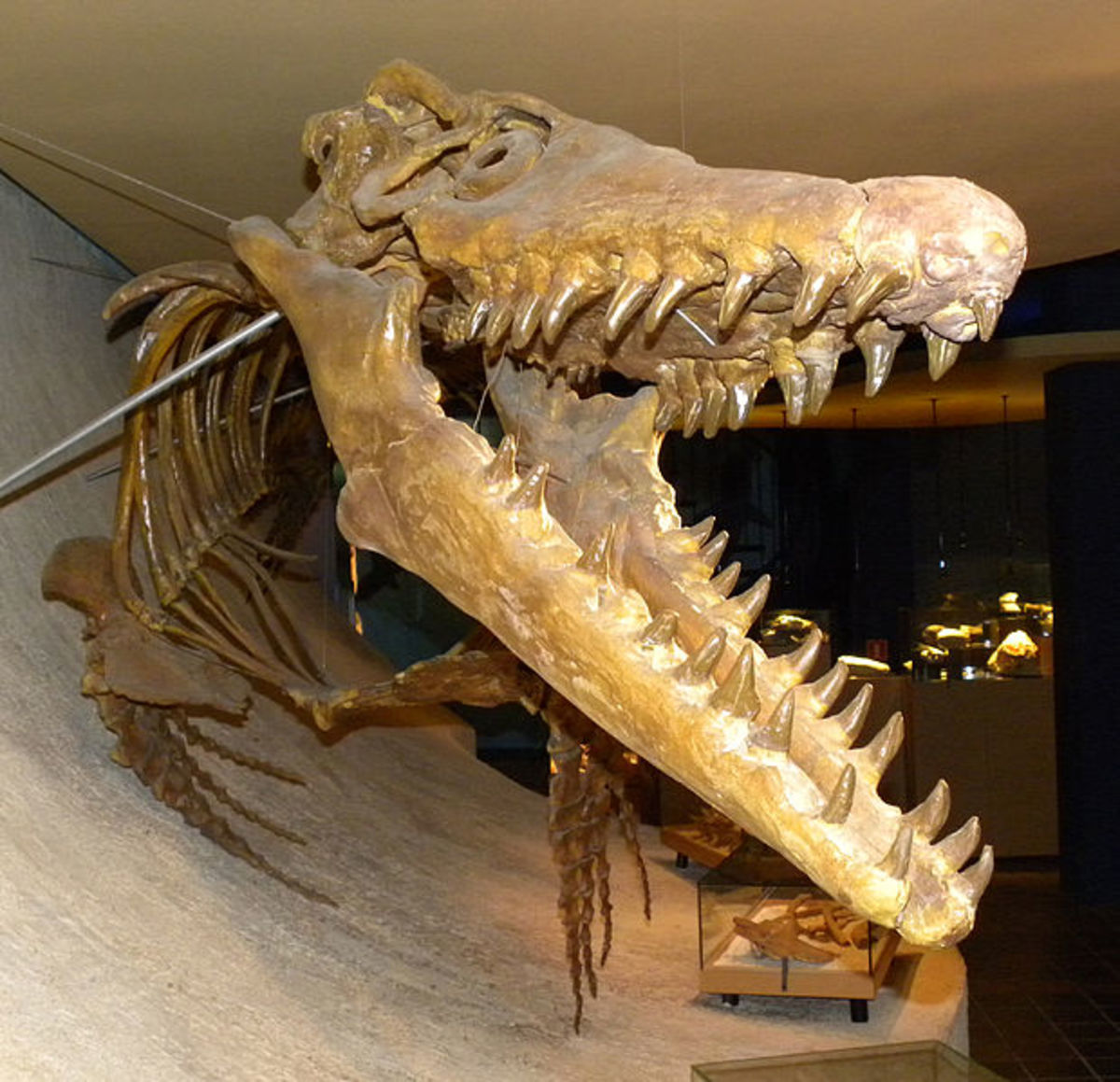 Mosasaurs were the tyrannosaurus of the oceans during the late Cretaceous Period.