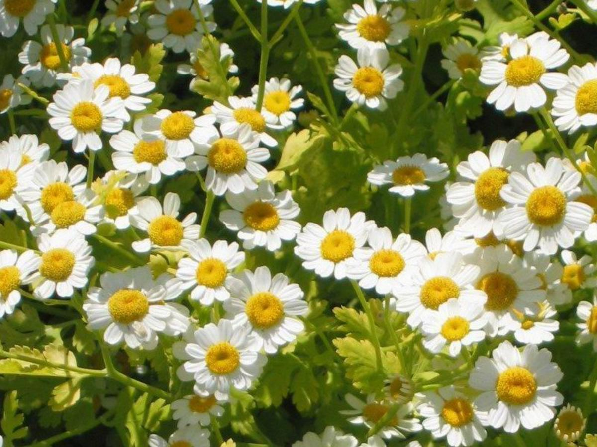 Feverfew is well-known for its ability to prevent migraines.