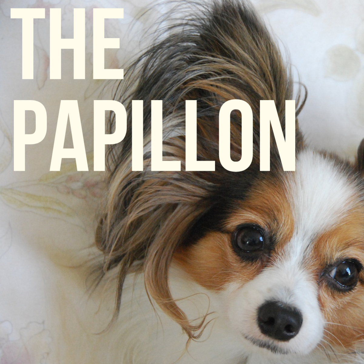 The Papillon:  A Guide to Being Owned by One