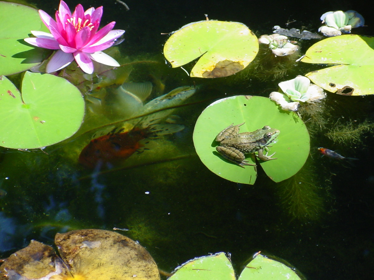 Frog, fish, and lilies in my pond