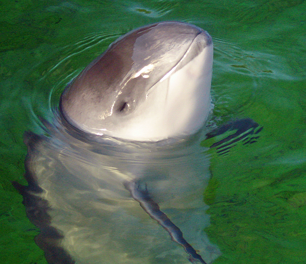 The Vaquita and the Harbour Porpoise: Two Cetacean Relatives