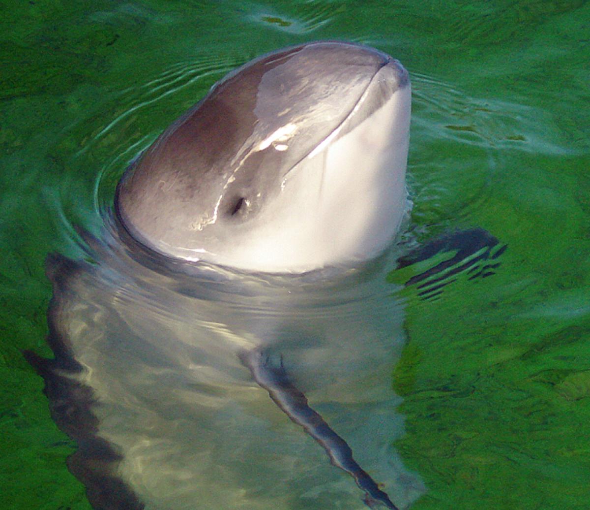 Daan, a captive harbour porpoise