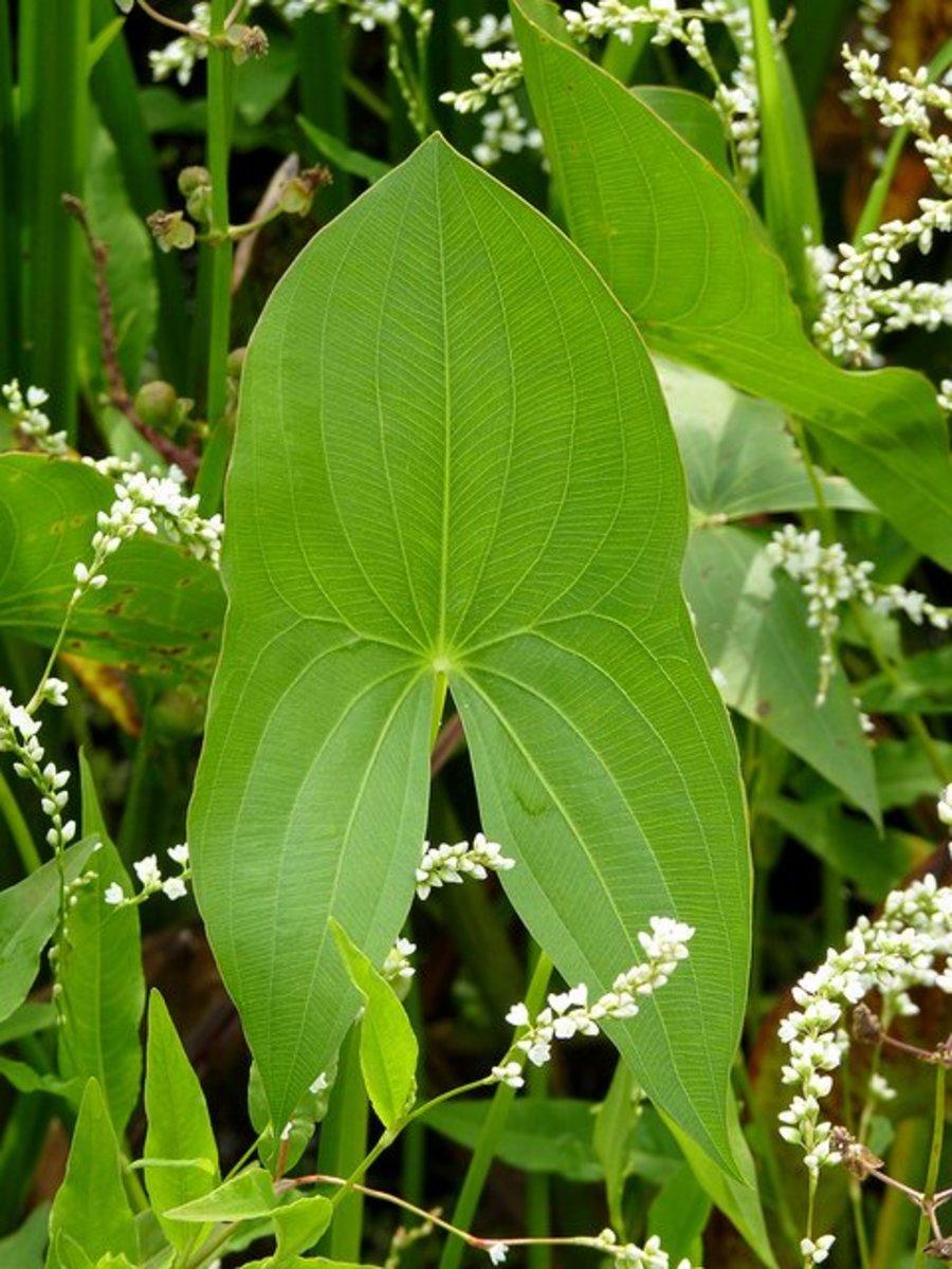 Sagittaria, arrowhead leaf.