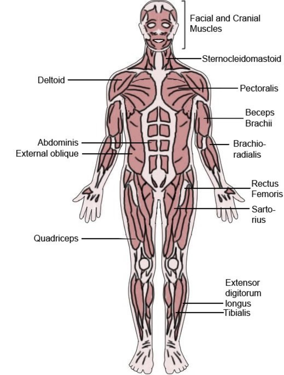 Anterior view of the Human Muscular System showing only some major muscles