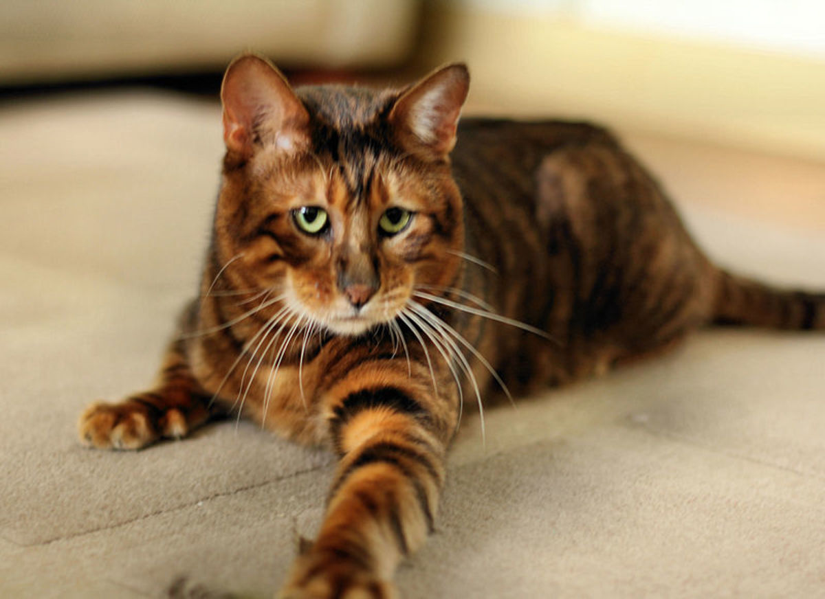 Toyger's don't have any wild Tiger genes. They are house cats bred from types of brown tabby cats with distinctive, tiger-like markings.