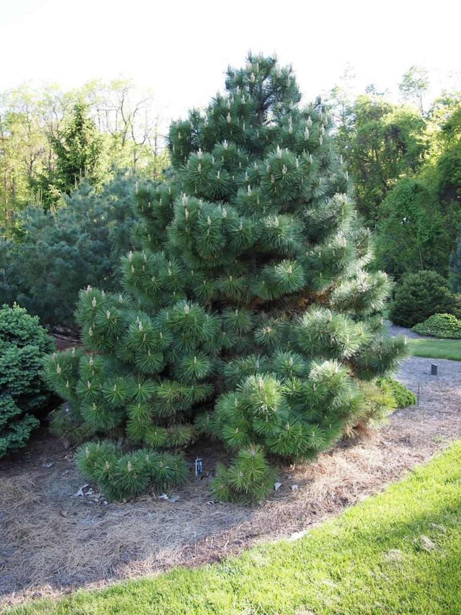 how to grow austrian pine pinus nigra  dengarden, Natural flower