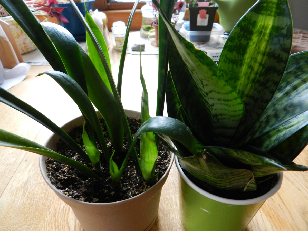 Two small snake plants, Sansevieria.