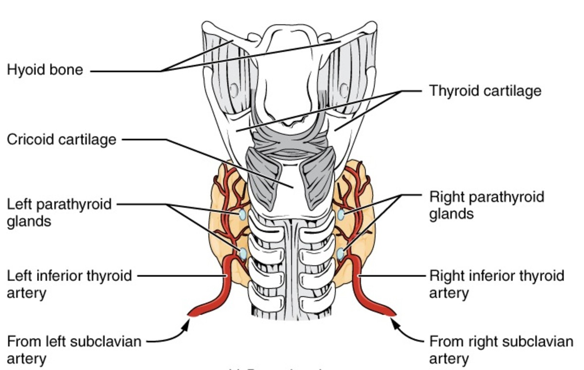 The thyroid gland (orange) and the parathyroid glands as viewed from the back of the body; the barred structure in the middle of the diagram is the back of the trachea