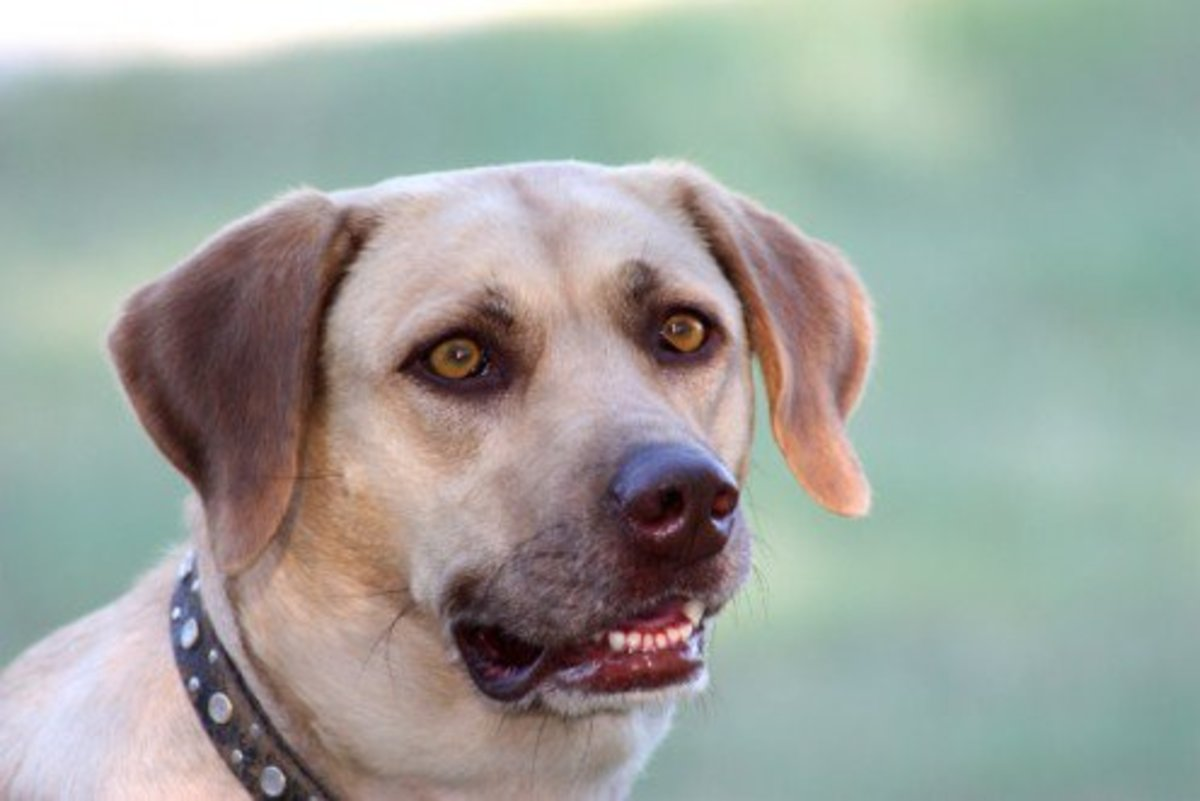 Our Yellow Labrador Retriever, Sadie.