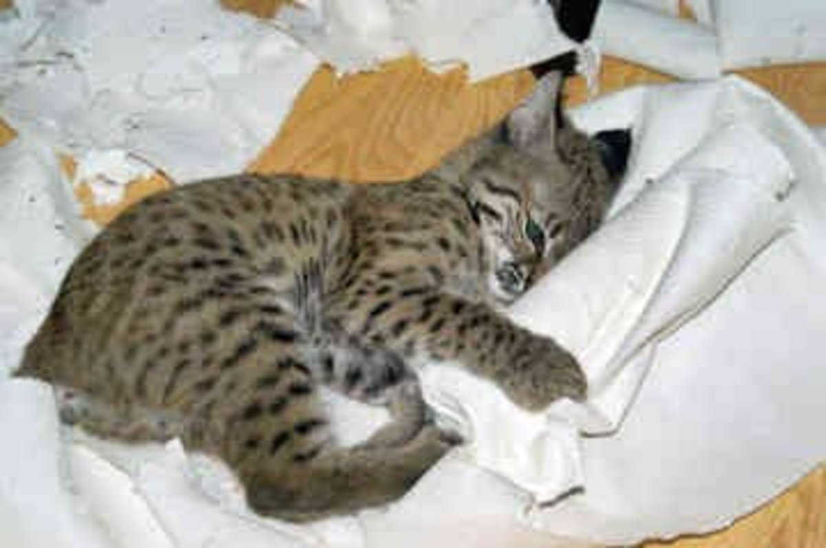 """""""Roxi"""" 10 week old pet bobcat. Used with permission"""