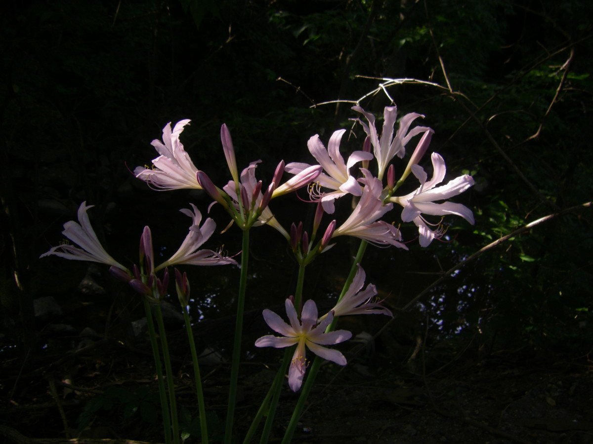 How to Grow Magic Lilies