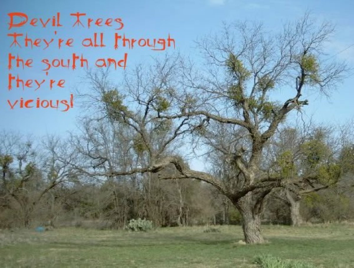 All About Mesquite Trees Sometimes Called Devil Trees!