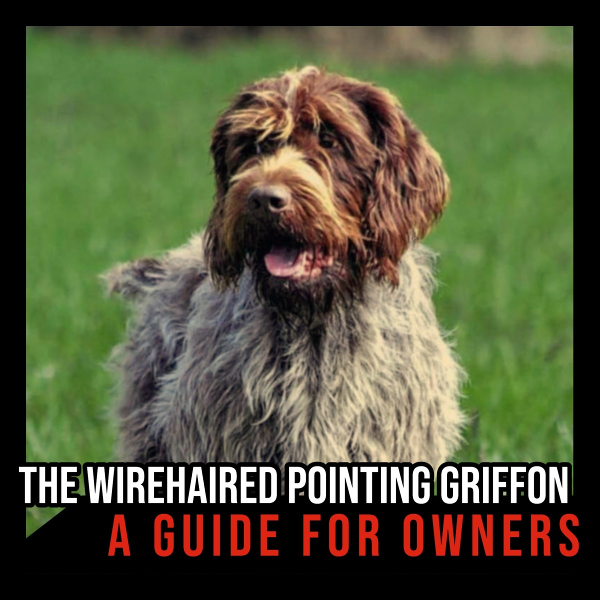 The Wirehaired Pointing Griffon: A Guide for Owners.