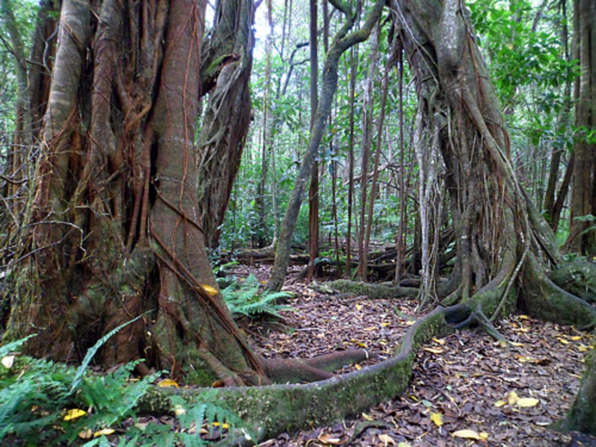Hawaii Road Trip: Kalopa Native Forest State Park on the Big Island
