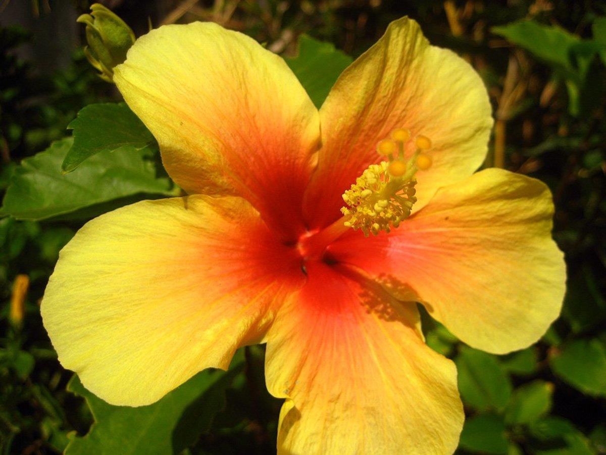 Exotic Hibiscus Flower