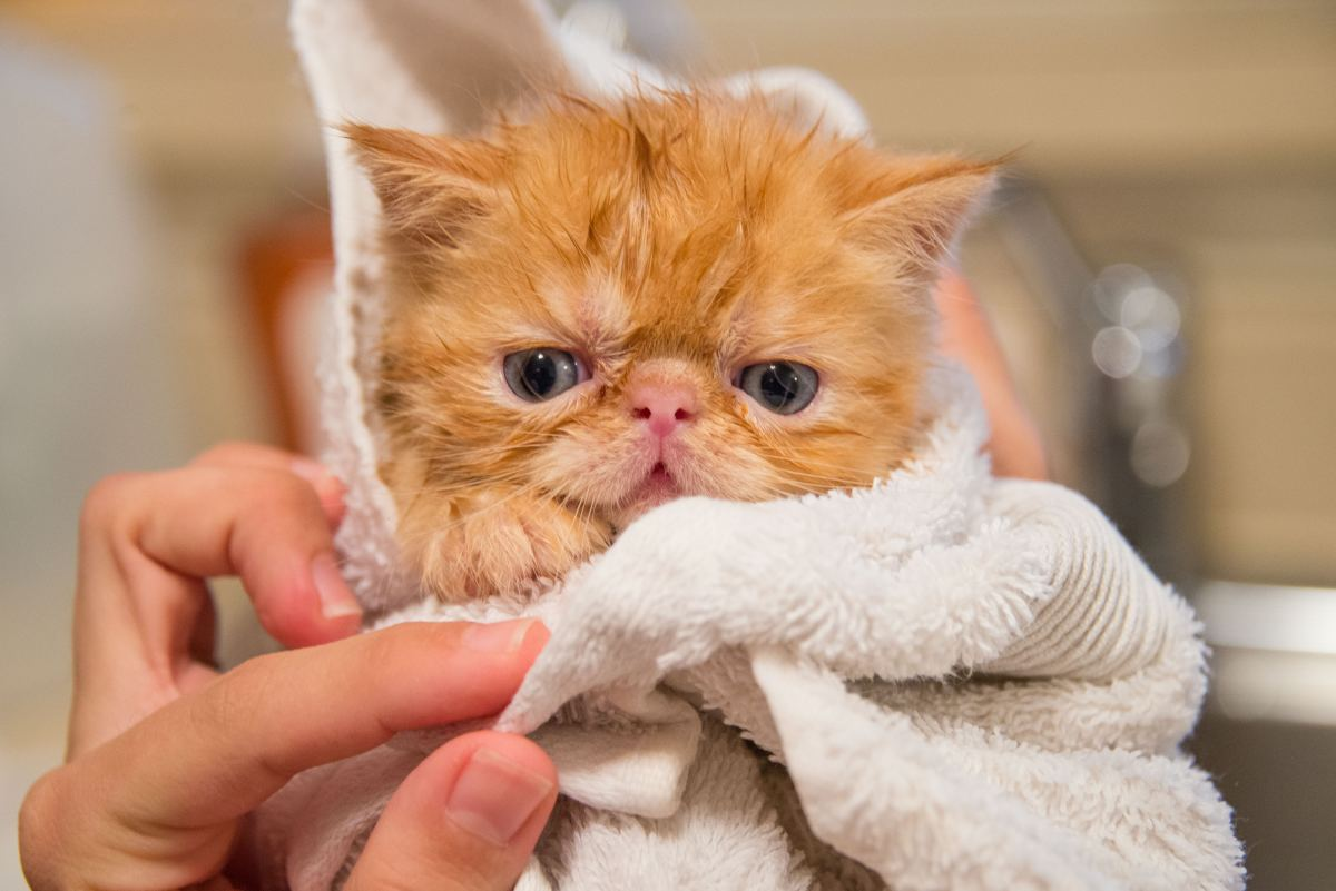 What's the smartest way to bathe a cat?