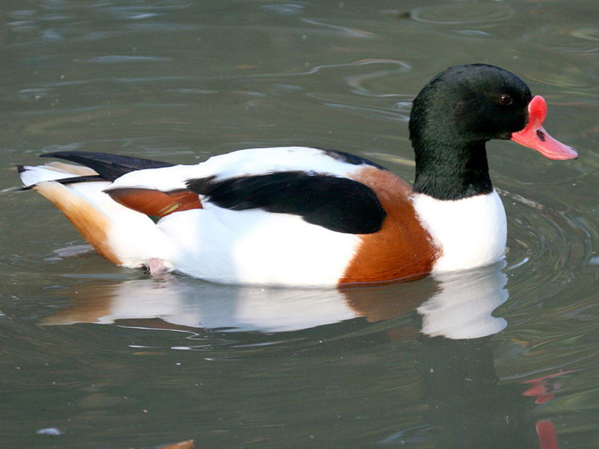 The adult male in full breeding plumage  can be distinguished further by the knob at the top of his bill.