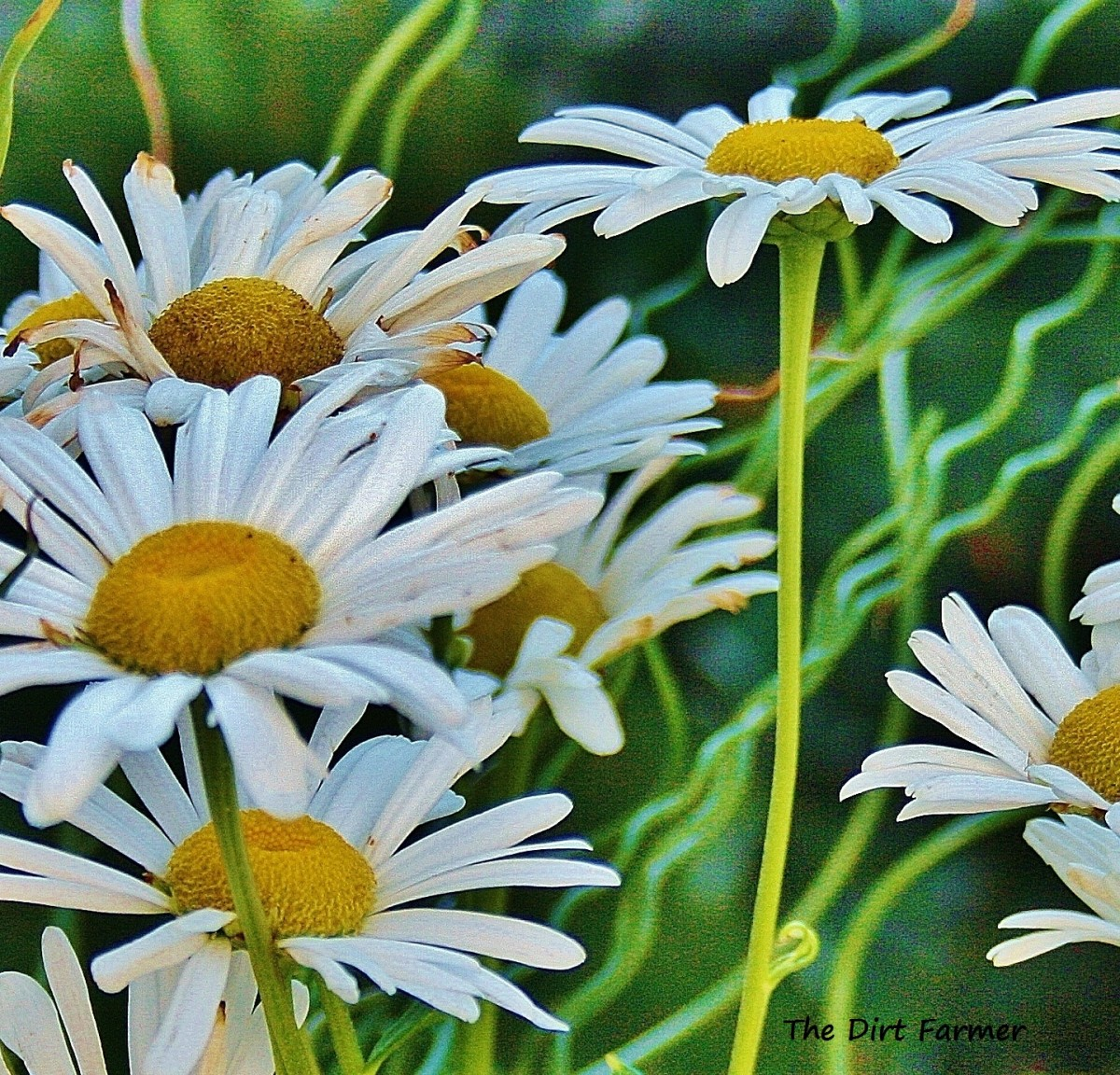 Because Montauk flower stems are long and sturdy, they're a popular choice for cutting gardens and floral arrangements.
