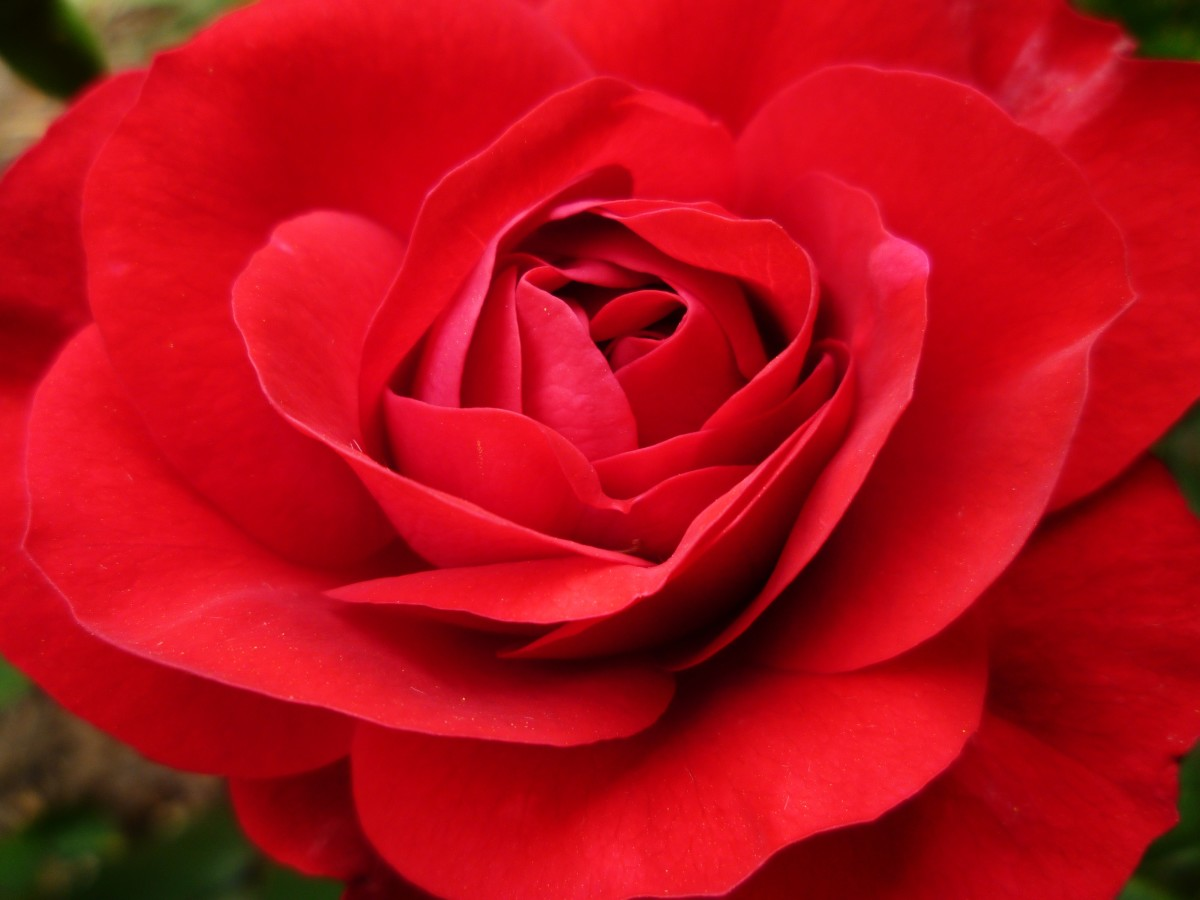 Closeup Photo of Rose