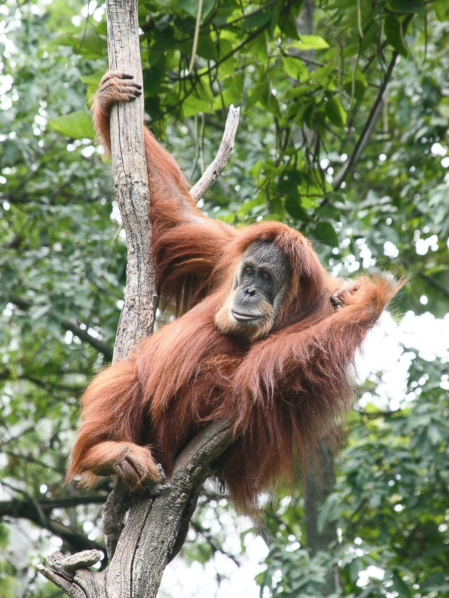 A female Sumatran orangutan at the Cincinnati Zoo