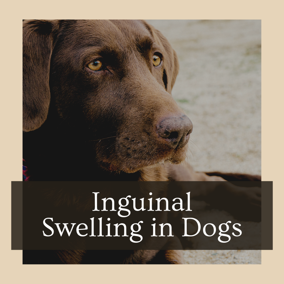 Symptoms of Swollen Inguinal Lymph Nodes in Dogs