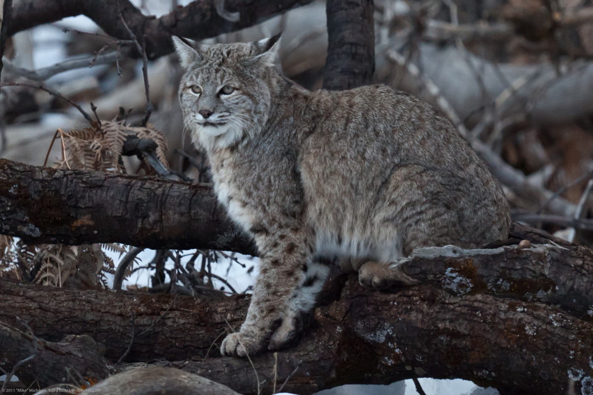 The bobcat is the most commonly known wildcat in North America. Here's one in Yosemite National Park.