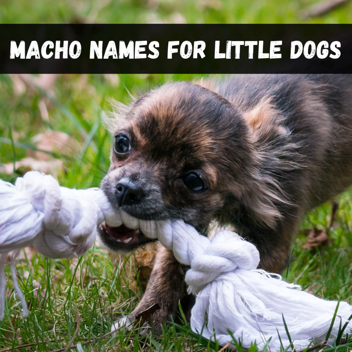 Want a big, tough name for your little Chihuahua or Maltese? Check out these ideas!
