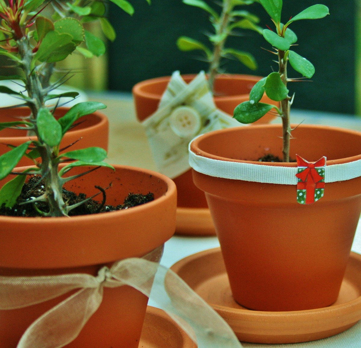 how-to-grow-crown-of-thorns-from-cuttings