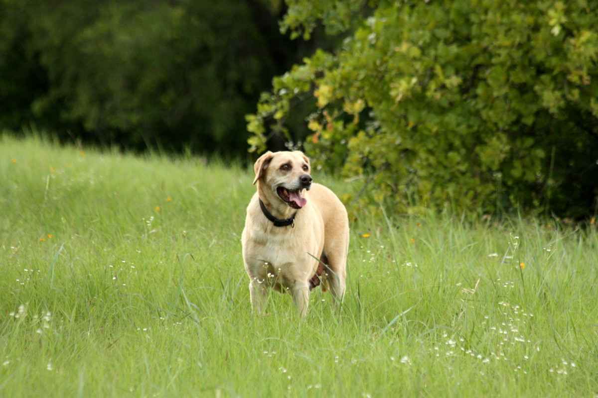 My yellow Labrador retriever, Sadie.