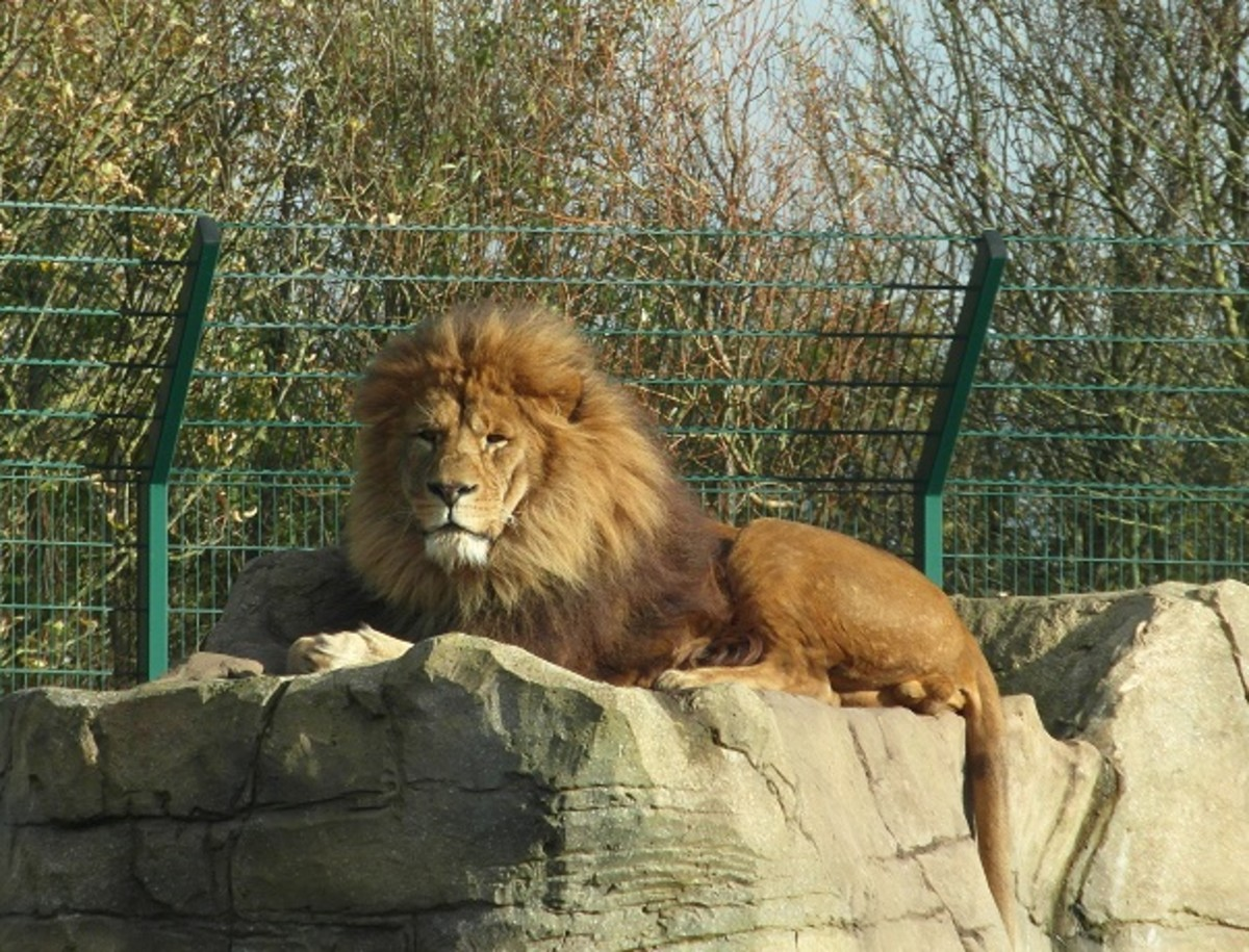 Male Lion at Blackpool Zoo