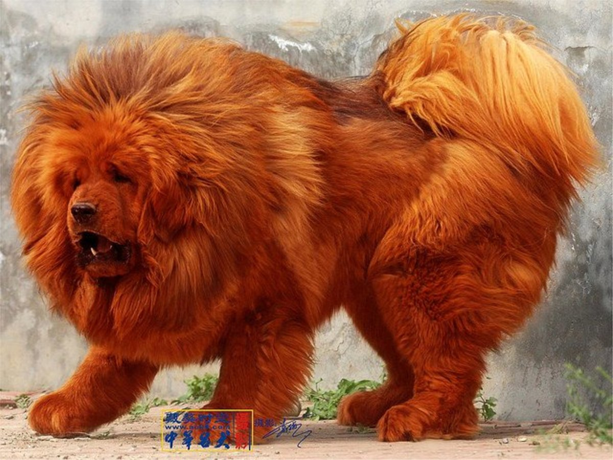 The Tibetan Mastiff is the most expensive dog in the world.